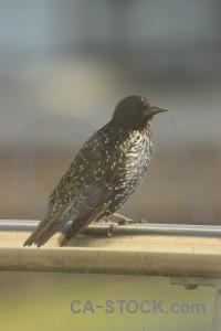 Starling animal bird.