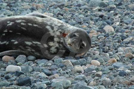 Stone marguerite bay day 5 seal south pole.