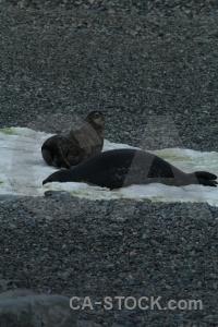 Stone weddell seal bellingshausen sea millerand island antarctica.