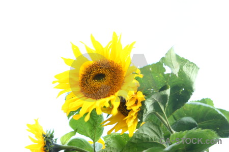 Sunflower green white yellow flower.