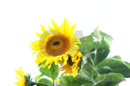 Sunflower green white yellow flower.