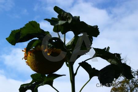 Sunflower plant flower blue.