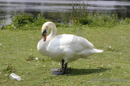Swan animal aquatic bird green.