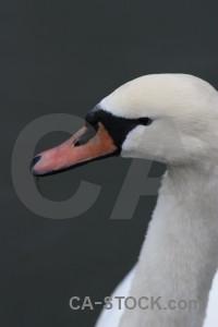 Swan animal aquatic bird water.