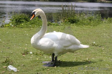 Swan animal aquatic green bird.