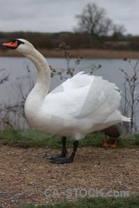 Swan aquatic bird water pond.