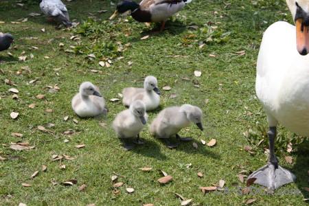 Swan aquatic chick bird animal.