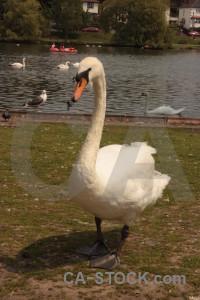Swan bird animal aquatic brown.