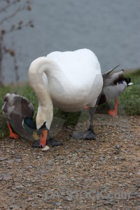 Swan bird pond aquatic water.