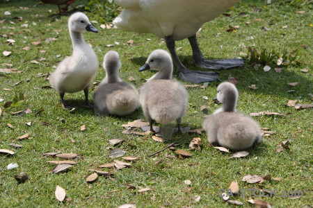 Swan chick animal bird aquatic.