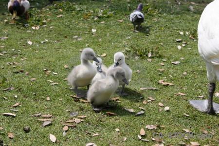 Swan chick aquatic bird animal.