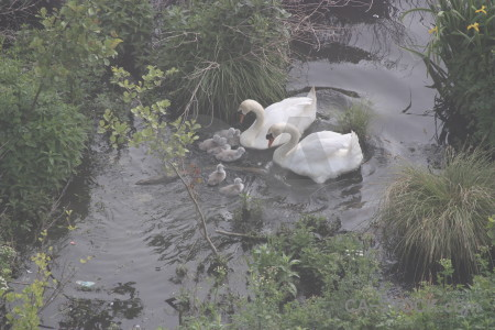 Swan pond animal aquatic bird.