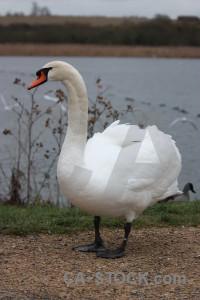 Swan pond animal aquatic water.