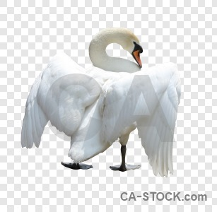 Swan transparent cut out animal bird.