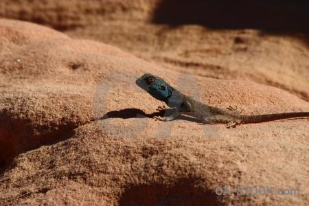 Tail reptile western asia jordan lizard.