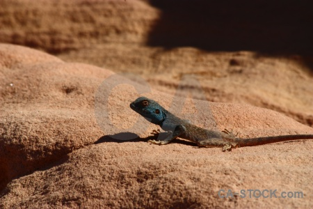 Tail rock animal western asia lizard.