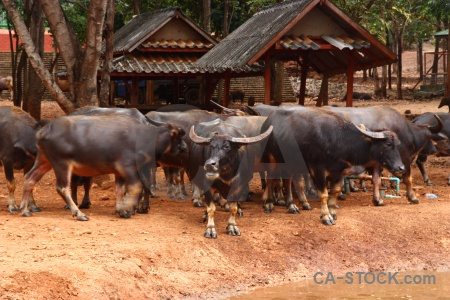Thailand asia animal wat pa luangta maha bua yannasampanno horn.