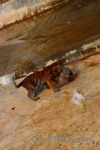 Thailand pool animal tiger temple.