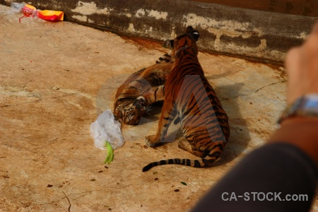 Thailand wat pa luang ta bua yansampanno tiger pha asia.