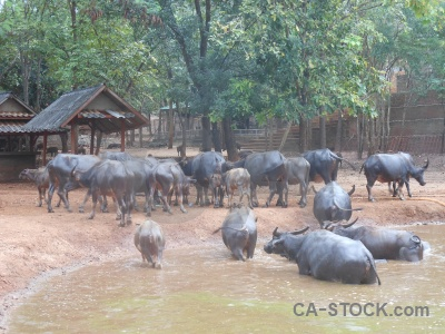 Thailand wat pa luangta maha bua yannasampanno water buffalo southeast asia pha luang ta.