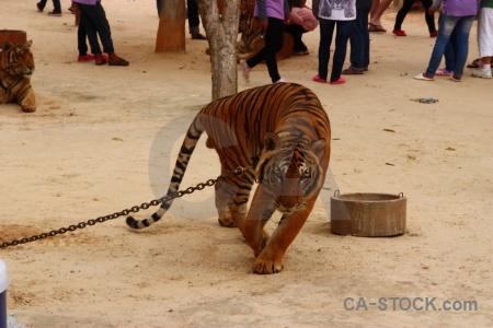 Thailand wat pha luang ta bua pa luangta maha yannasampanno yansampanno tiger.