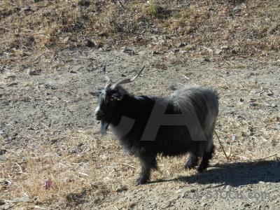 Tibet himalayan arid plateau goat.