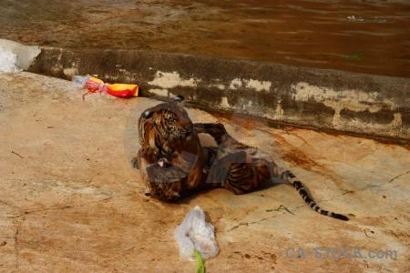 Tiger asia animal wat pa luangta maha bua yannasampanno southeast.