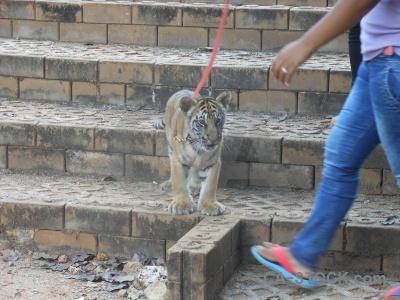 Tiger asia wat pa luang ta bua yansampanno step whisker.