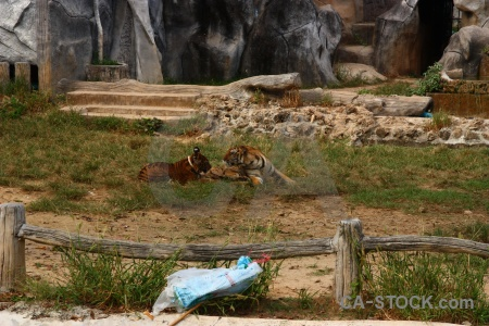 Tiger thailand animal wat pa luangta maha bua yannasampanno temple.