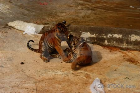 Tiger tiger temple water animal wat pa luangta maha bua yannasampanno.