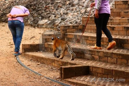 Tiger wat pa luang ta bua yansampanno asia thailand cub.