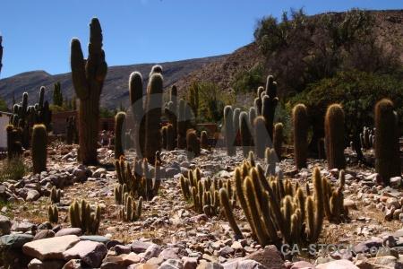 Tilcara cactus quebrada de humahuaca mountain rock.