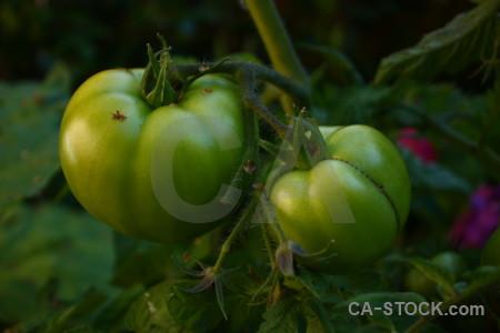 Tomato green branch.