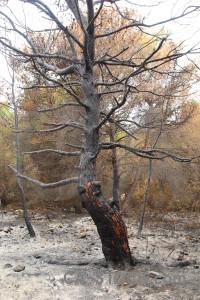 Tree europe burnt montgo fire javea.