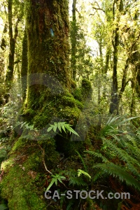 Tree forest moss south island plant.