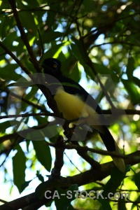 Tree iguacu falls south america bird jay.