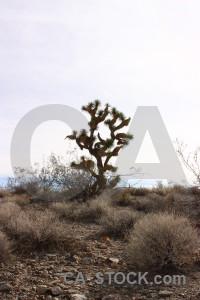 Tree joshua tree white desert landscape.