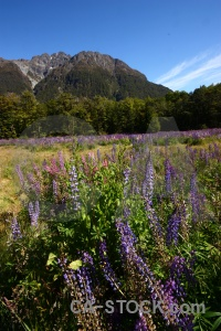 Tree landscape flower mountain lupin.