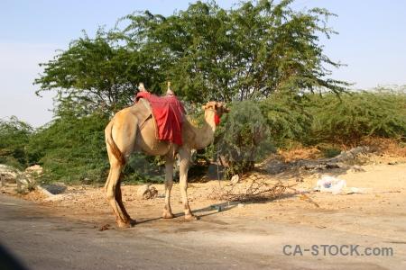 Tree middle east camel western asia jordan.