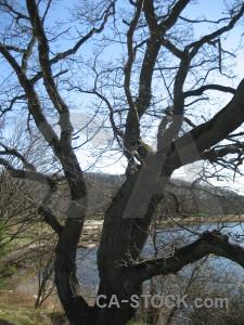 Tree single blue.