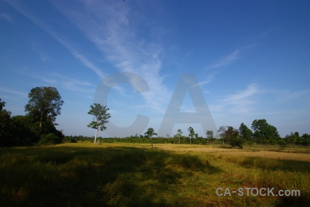 Tree southeast asia prasat banteay srei cambodia field.