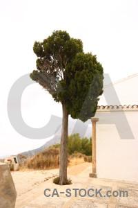 Tree white single.