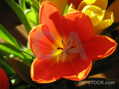 Tulip green flower plant orange.