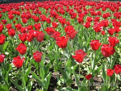 Tulip green flower red pink.