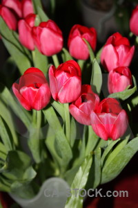 Tulip green plant bouquet pink.