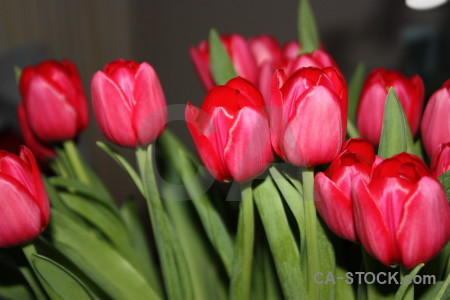 Tulip red pink plant bouquet.