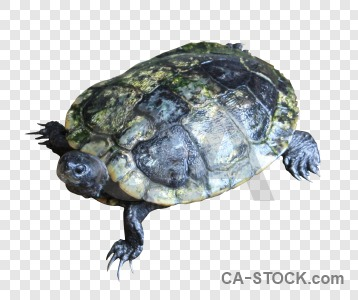 Turtle animal cut out transparent.