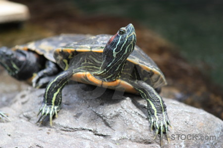 Turtle animal reptile.