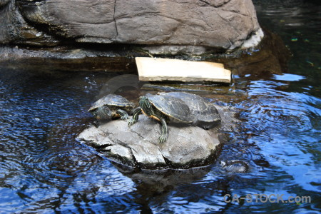 Turtle reptile animal blue.