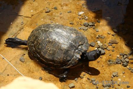 Turtle reptile animal orange brown.